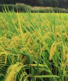 Bảo quản hạt lúa giống