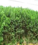 Kỹ thuật trồng rừng keo lai
