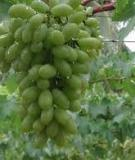 Cây nho và kỹ thuật trồng