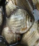 Tài liệu: Kỹ thuật nuôi cá ao