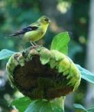 Kĩ thuật nuôi và thuần hóa chim Rừng