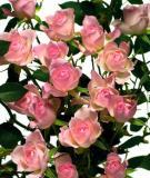 Ý nghĩa của các loài hoa