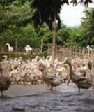 Quy trình kỹ thuật chăn nuôi ngan