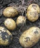 Quy trình kỹ thuật thâm canh khoai tây