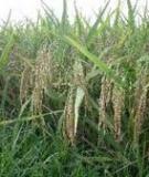 Kỹ thuật thâm canh cây lúa (Phần 2)