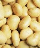 Kỹ thuật trồng khoai tây thương phẩm ở vùng đồng bằng Bắc bộ