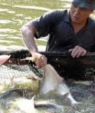 Bệnh gan thân mủ trên cá