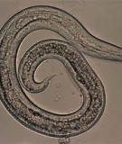 Bệnh Giun tròn trên gia cầm (Roundworms)