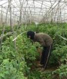 Sản xuất rau an toan ở việt nam.  Cơ hội và thách thức