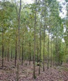 Kỹ thuật trồng rừng bạch đàn (Eucalyptus)