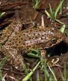 Kinh nghiệm nuôi ếch đồng
