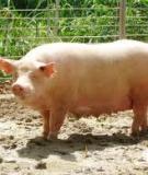 Điều trị lợn nái chậm lên giống sau cai sữa