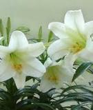 Kỹ thuật trồng hoa lily