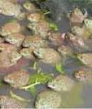 Thủy sản đại cương: Nuôi ếch