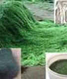 Nuôi tảo Spirullina