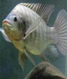 Giới thiệu kỹ thuật nuôi cá rô phi