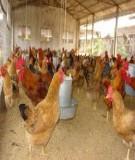 Kỹ thuật nuôi gà và đẻ trứng thương phẩm