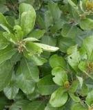 Đặc điểm và phân bố của các loài cây lâm nghiệp- Cây Bời lời đỏ