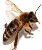 Nuôi ong trong vườn cây ăn trái - Mô hình cần nhân rộng