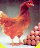 Kỹ thuật nuôi gà hướng trứng thương phẩm - Giống cao sản