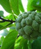 Sâu bệnh hại cây ăn trái