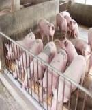 Các câu hỏi và trả lời trong chăn nuôi heo (Phần 1)
