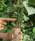 Nhân giống cây ăn quả bằng kỹ thuật chiết canh