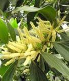Tài liệu Kỹ thuật trồng rừng keo lá tràm