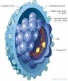 Viêm gan Biết để sống tốt hơn: Chương 3. Viêm gan siêu vi B - Nguyễn Minh Tiến
