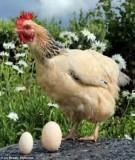 Kỹ thuật nuôi gà hậu bị và gà đẻ