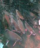 Kỹ thuật nuôi cá song