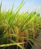 Kỹ thuật trồng lúa cấy