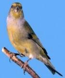 Cách nuôi chim Yến đẻ và Yến hót