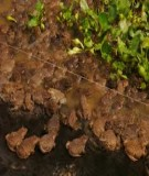 Kỹ thuật nuôi thực nghiệm ếch đồng