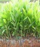 Hướng dẫn kỹ thuật trồng rừng keo lá tràm (Acacia auriculiformis)