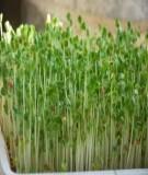 Hướng dẫn trồng rau mầm tại nhà - một cách giải quyết nhu cầu rau xanh tại chỗ