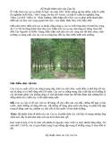 Kỹ thuât chăm sóc cây cao su