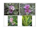 Cây cảnh, cây hoa cảnh part 7