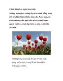 Cánh đồng bạt ngàn hoa tulip