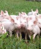 """Báo cáo khoa học: """"Ảnh hưởng của nhiệt độ và độ ẩm không khí lên lợn F1 (Y x MC) và Yorkshire nuôi thịt"""""""