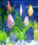 Giáo trình kỹ thuật nuôi cá cảnh - Ts Bùi Minh Tâm