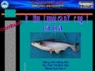 Bài giảng: Kỹ thuật nuôi cá tra