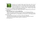 Cây rau khúc chữa bệnh