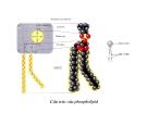 Bài giảng chuyển hóa các chất - Chuyển Hóa Lipid part 3