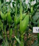 """Báo cáo nông nghiệp: """"Một số kết quả nghiên cứu sâu bệnh hại ngô và áp dụng quản lý cây ngô tổng hợp tại Sơn La"""""""