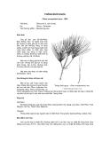 Tài liệu về kỹ thuật trồng, đặc điểm sinh lý và phân bố của cây Thông Đuôi Ngựa