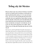 Trồng cây lát Mexico