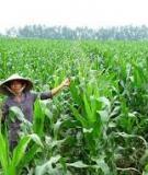 Kinh nghiệm trồng bắp thu trái non