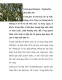 Cành giao không lá - Euphorbia tirucalli.Liun