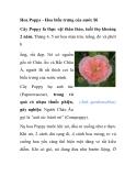 Hoa Poppy - Hoa biểu trưng của nước Bỉ